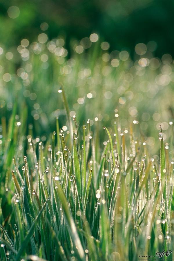 풀잎과 이슬 (RDP3) 역광으로 들어오는 빛이 이슬방울을 영롱하게 밝혀주고 있다.
