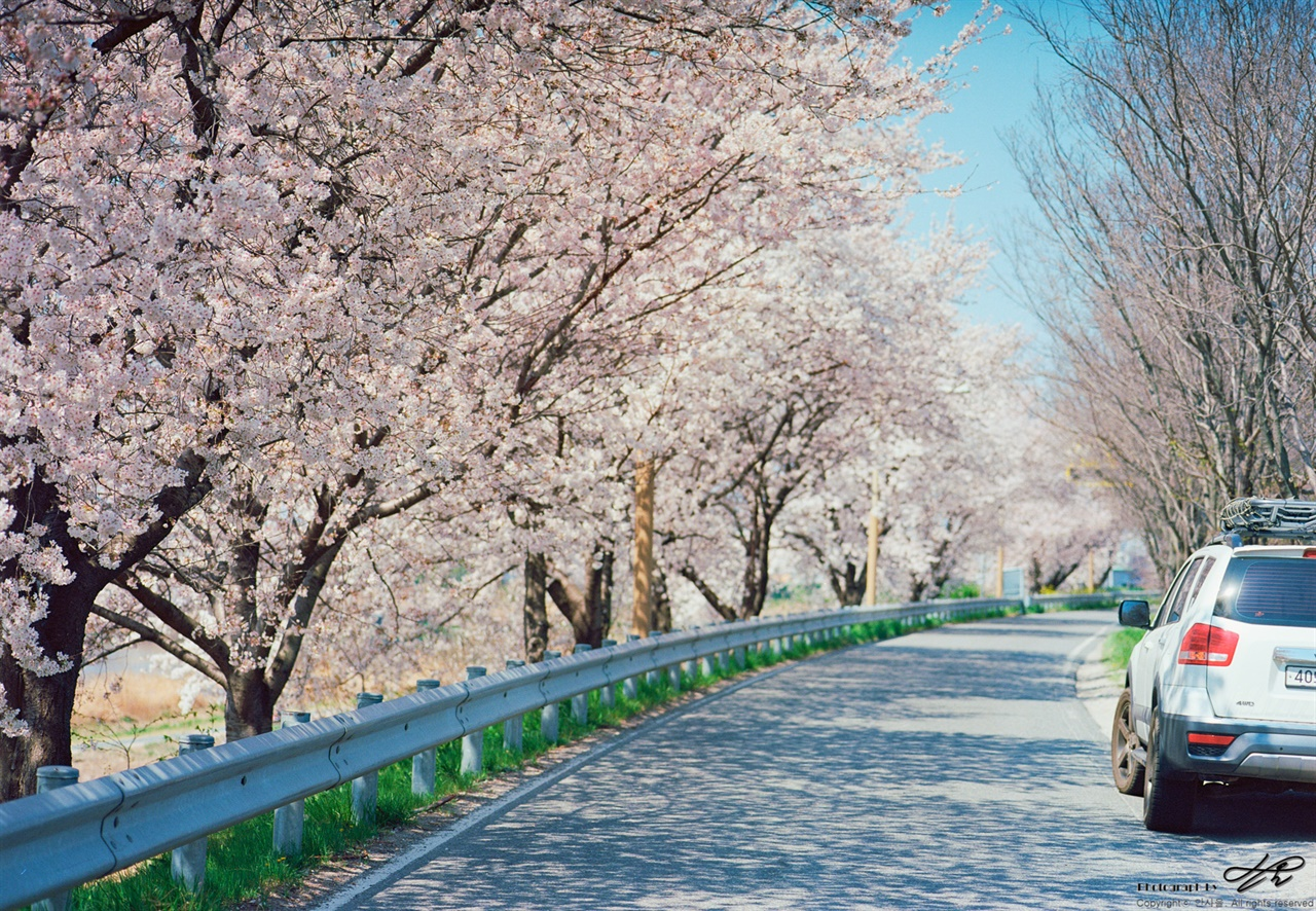 벚꽃길 초입에서 (Portra400) 전주천과 만경강이 합쳐지기 전 송천동 쪽의 천변길
