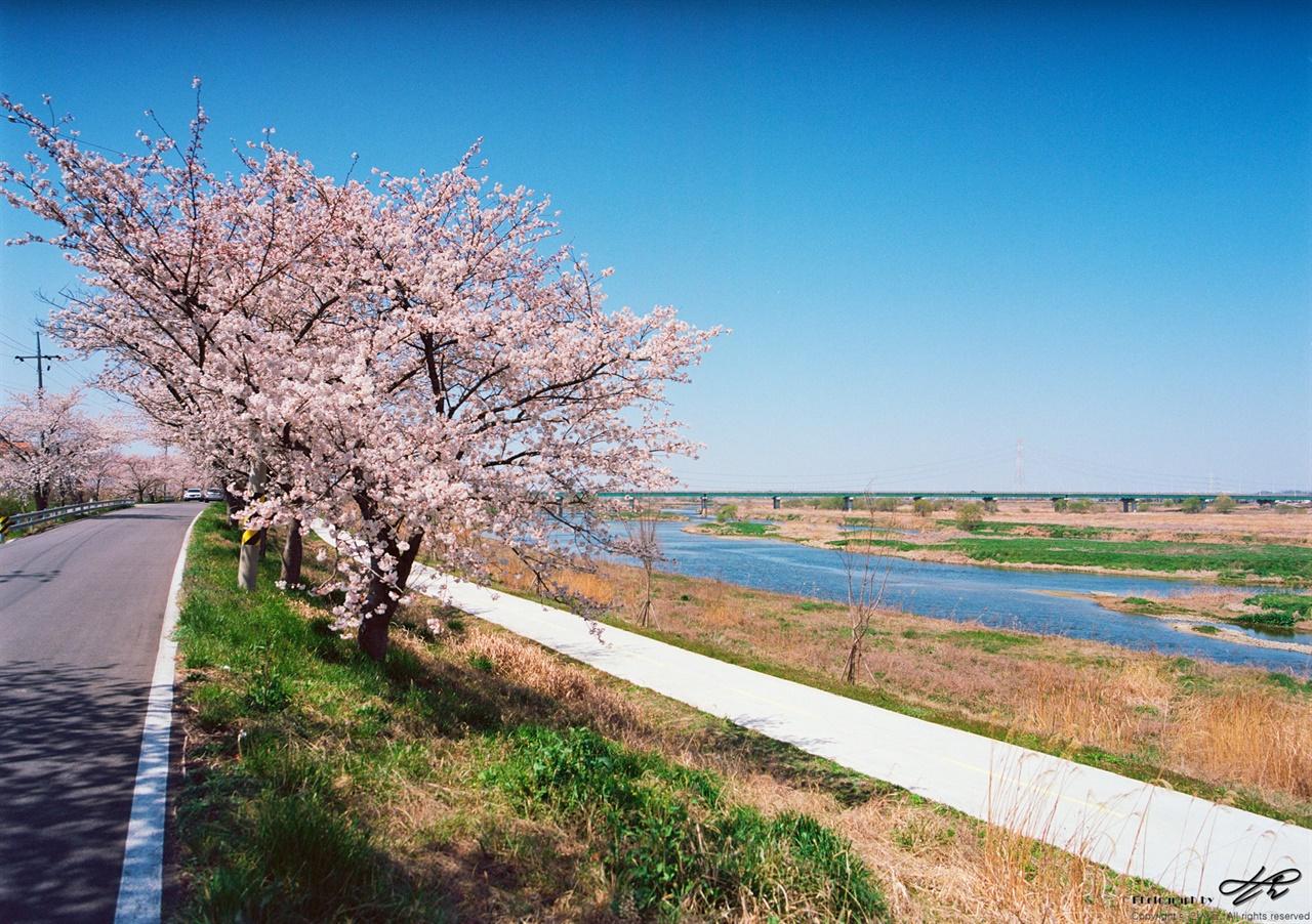 만경강과 벚나무 (Ektar100) 만경강은 습지가 잘 보존되어있다. 철새와 억새, 많은 나무들의 서식처이다.