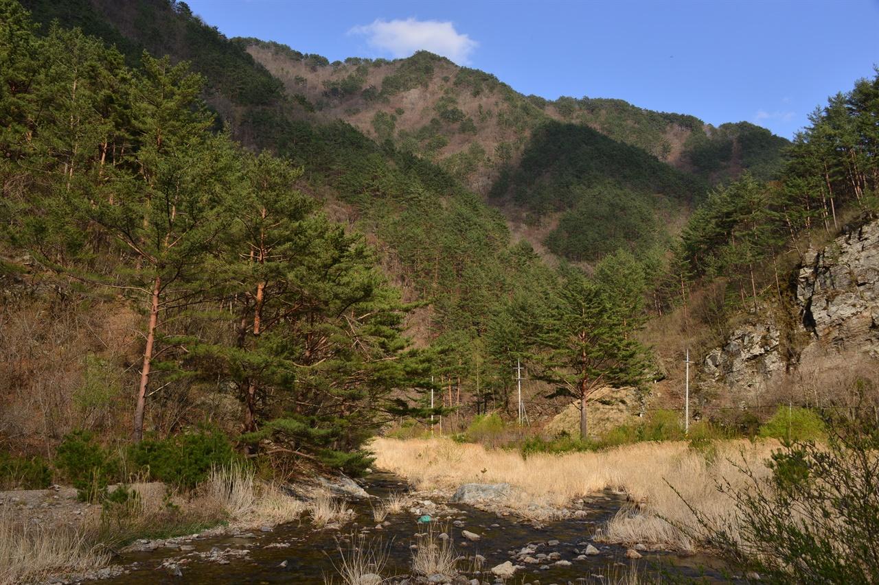 봉화군 소천면 고선계곡(구마계곡)의 금강소나무 군락.