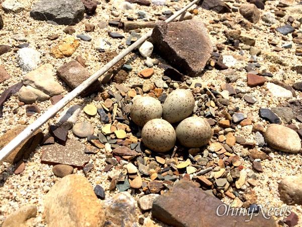 낙동강 합천창녕보 상류에 있는 자갈밭에서 둥지를 튼 흰목물떼새.