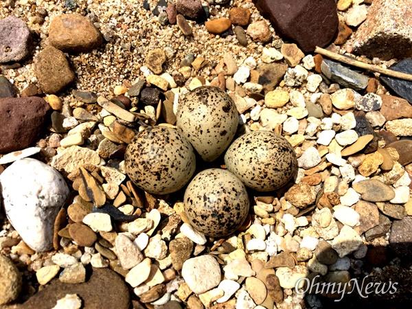 낙동강 합천창녕보 상류에 있는 자갈밭에서 둥지를 튼 꼬마물떼새.
