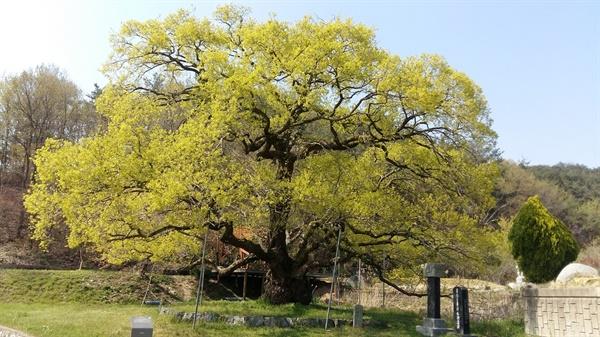 광주광역시 기념물 제24호, '괘고정수(掛鼓亭樹)' 광산 이 씨 집안에서 과거 급제자가 나올 때마다 나무에 이름을 걸어 놓고 북을 치며 축하연을 베풀었다
