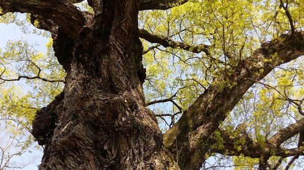 기축옥사로 필문의 가문이 멸문지화를 당하면서 이 나무도 말라죽었다가 300여 년이 지난 후 이발 형제의 억울함이 밝혀지자 다시 새 잎이 돋아나고 생기를 되찾았다