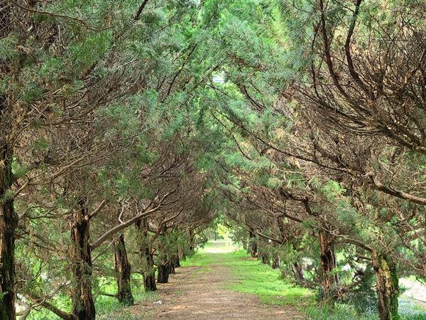 향나무 산책로