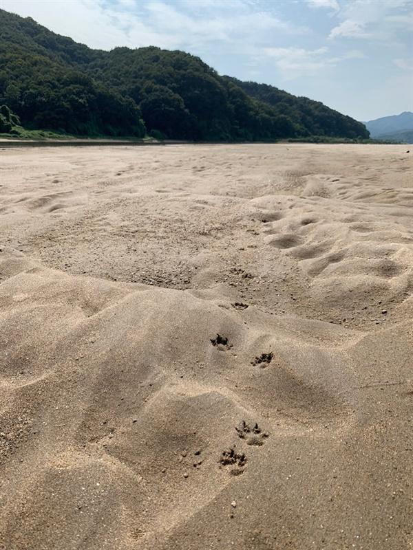 금강에 생긴 모래톱에 남은 수달발자국
