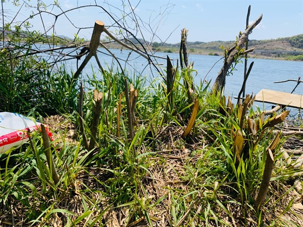 강변 수목을 벌목해 불법 낚시 좌대를 제작했다