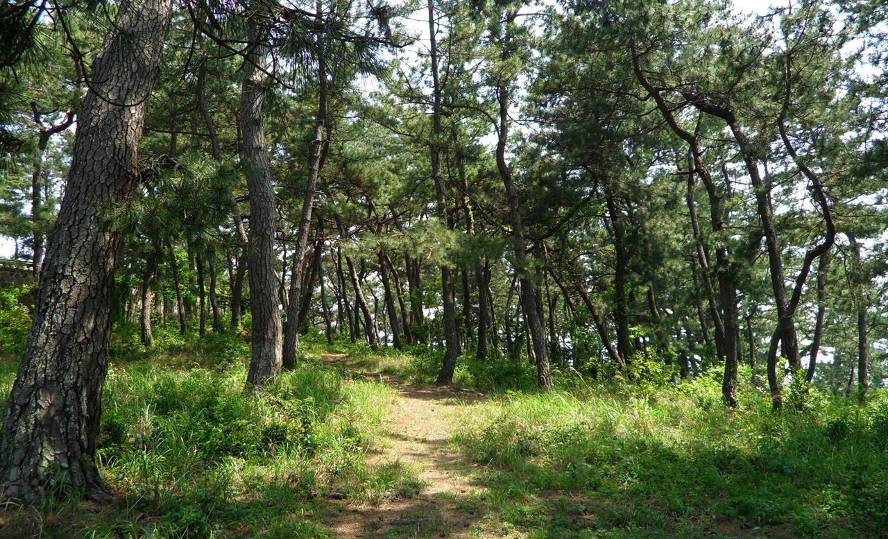 고하도 모충각 주변의 아름드리 소나무 숲. 숲길도 단아해 뉘엿뉘엿 하늘거리기에 좋다.
