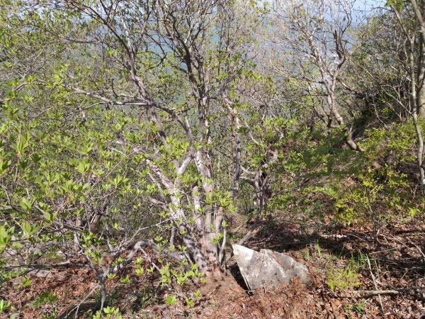 가지산 중봉쯤 해발 1100m부근 천연기념물 제462호 '가지산 철쭉나무 노거수 군락지' 내에서 전국에서 가장 큰 '진달래나무 어른나무'가 발견됐다