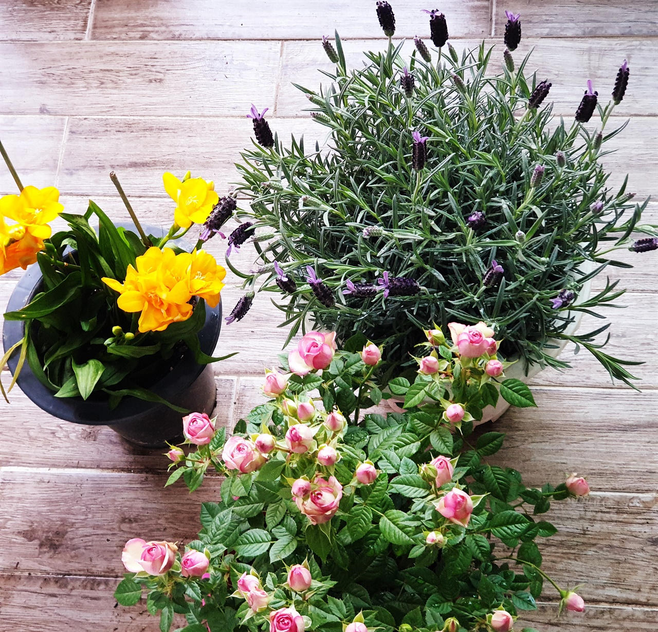라벤더, 프리지어, 미니 장미 퇴근길 화원에서 들인 식물