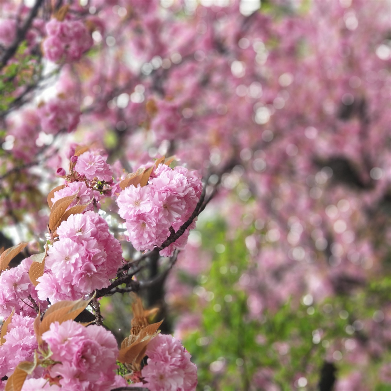 겹벚꽃 산책길에서 만난 겹벚꽃