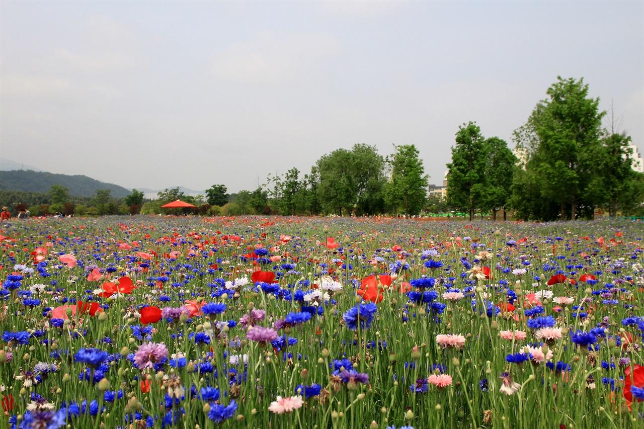 울산 태화강 국가정원 수레국화 꽃밭단지 모습