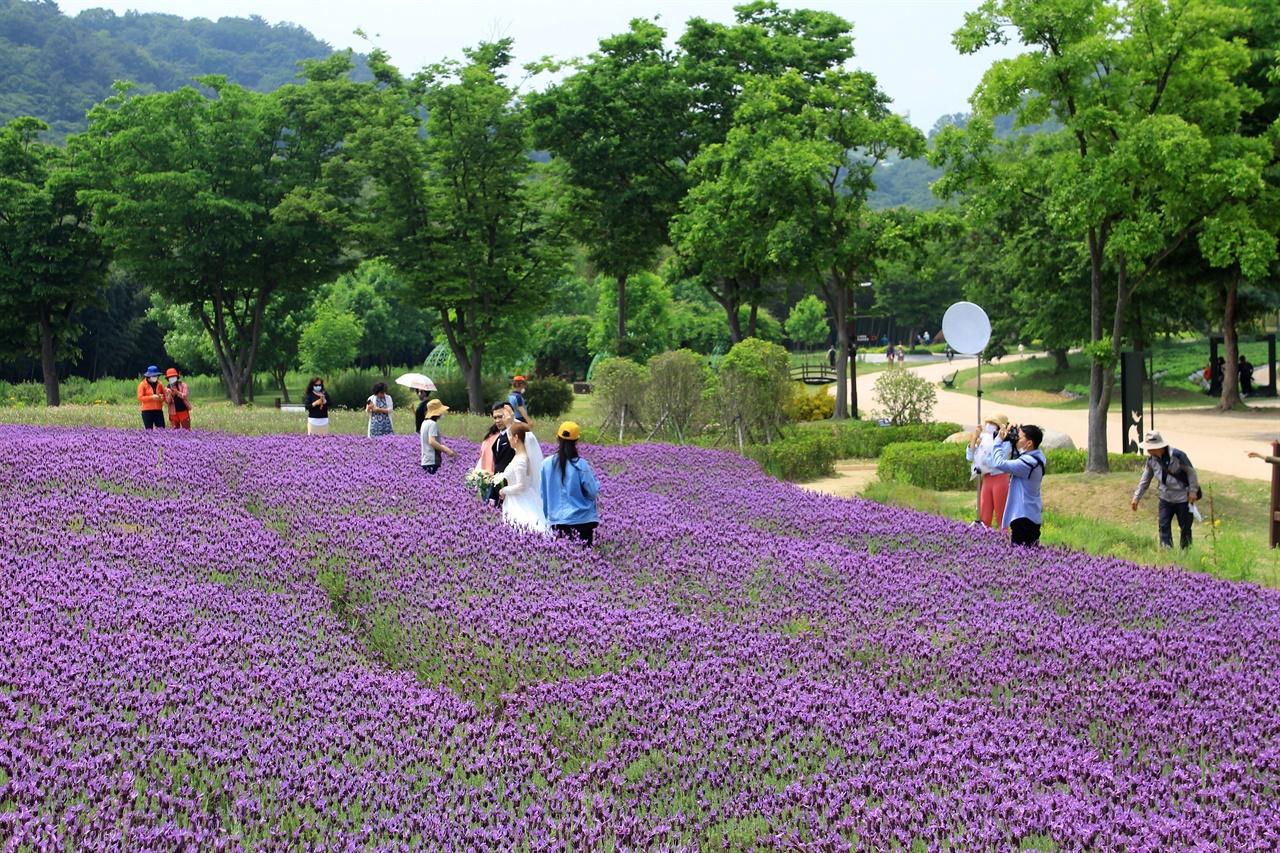 외국인 예비부부 한 쌍이 라벤더 꽃밭단지에서 웨딩촬영에 여념이 없는 모습