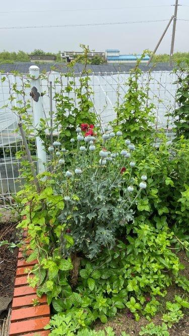 양귀비 재배 현장.