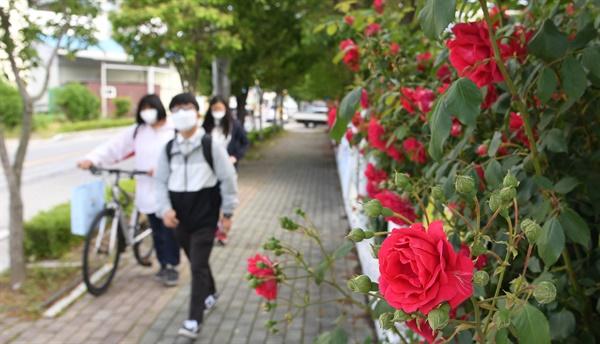 고3 학생들 등교길의 장미꽃.
