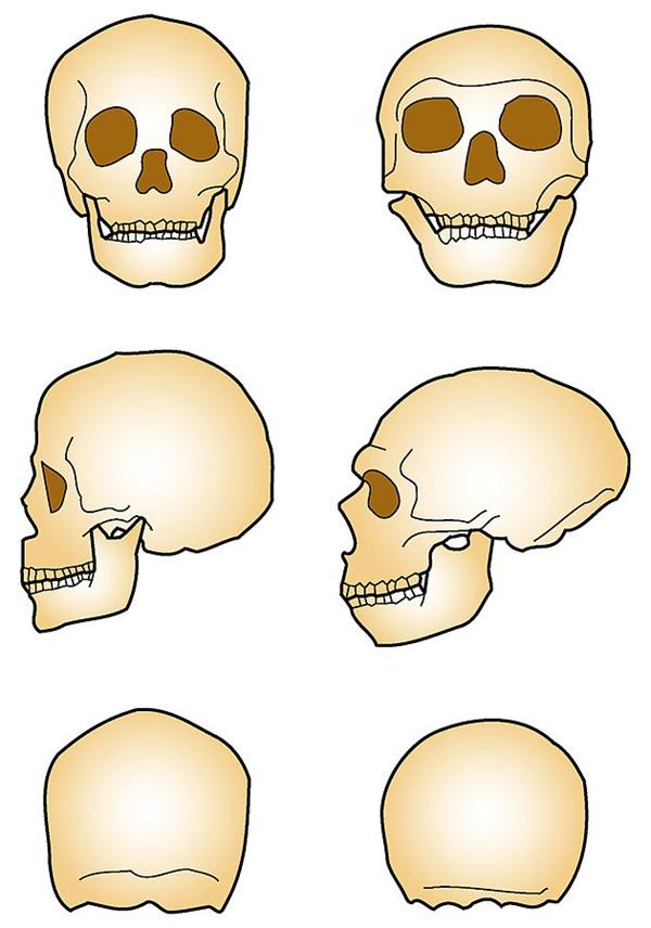 호모 사피엔스(왼쪽)와 네안데르탈인의 두개골 비교. 네안데르탈인은 현생인류에 비해 이마 높이가 낮은 편이지만 두개골이 앞뒤로 긴 특징이 있다.