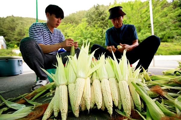 경남 의령군 농민들이 옥수수를 수확하고 있다.