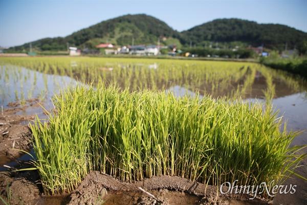 노무현 전 대통령 11주기 추도식이 김해 봉하마을에서 열리고 있다.  한창 모내기 중인 봉하마을 입구.