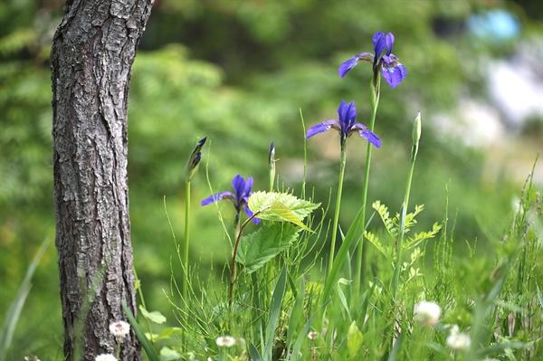 붓꽃 마치 보랏빛 수채화 물감을 품고 있는 듯 피어나는 5월의 꽃
