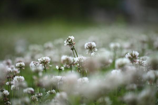 토끼풀꽃 낮은 곳에서 짓밟히며 피어나는 꽃, 그래도 행복하게 피어나는 꽃