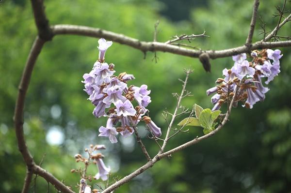 오동나무 딸 낳으면 심어 시잡갈 때 농을 짜주었다는 오동나무의 꽃이 진다.