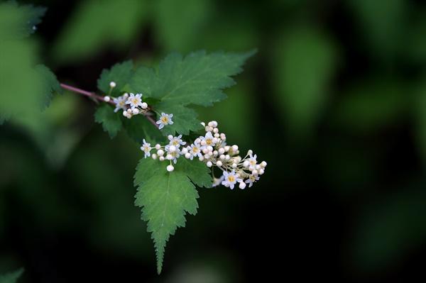 국수나무 가느라다란 줄기를 벗기면 하얀 국숫발 같아서 붙여진 이름이라고 한다.