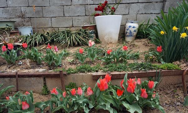 엄마를 수다쟁이로 만들곤 하는 엄마의 꽃밭, 초봄 풍경이다. 2년 전 초봄에 찍었다. 길어서 한꺼번에 다 담지 못한다. 초봄부터 가을까지, 수선화를 시작으로 수많은 꽃들이 피고 진다. 지금쯤 또 다른 꽃들이 가득 피었고 여름과 가을에 꽃필 식물들이 한창 자라고 있을 것이다.