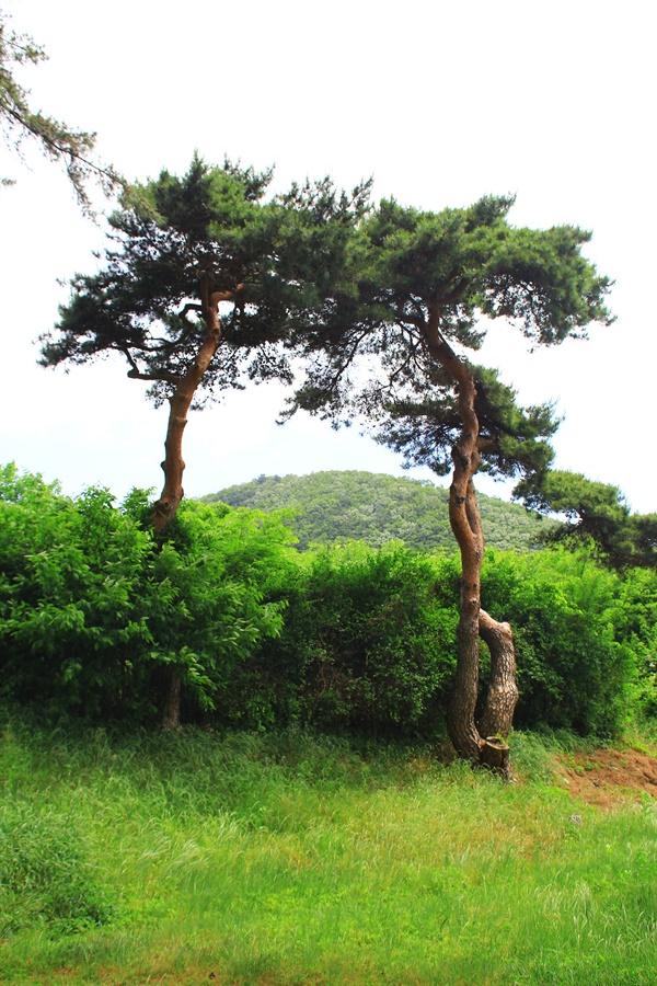 경주 헌덕왕릉내 소나무, 분재처럼 아름답게 가지치기 한 모습