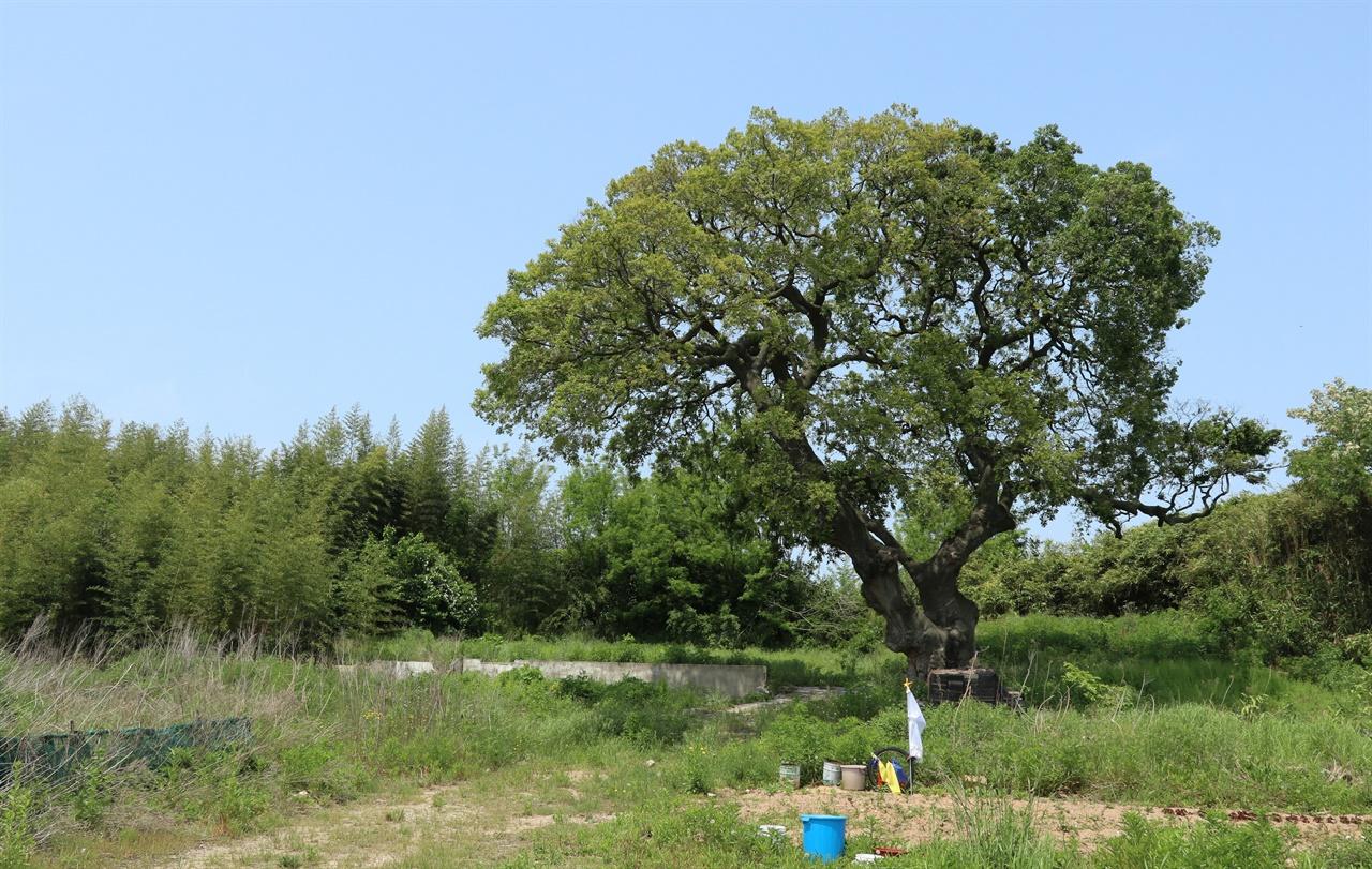 격동의 시대를 고스란히 겪었을 수령 600년생 팽나무