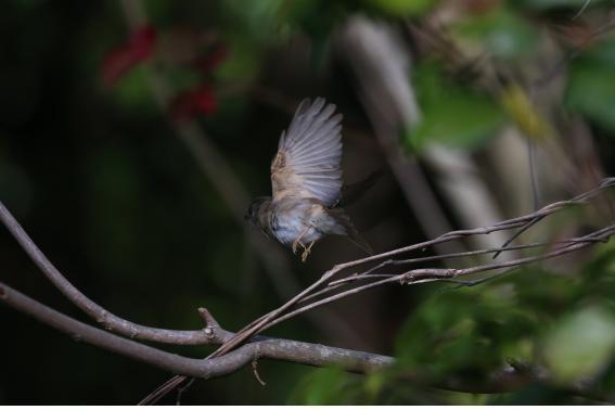 갈색솔딱새 (2020. 5. 12. 신안 흑산도)