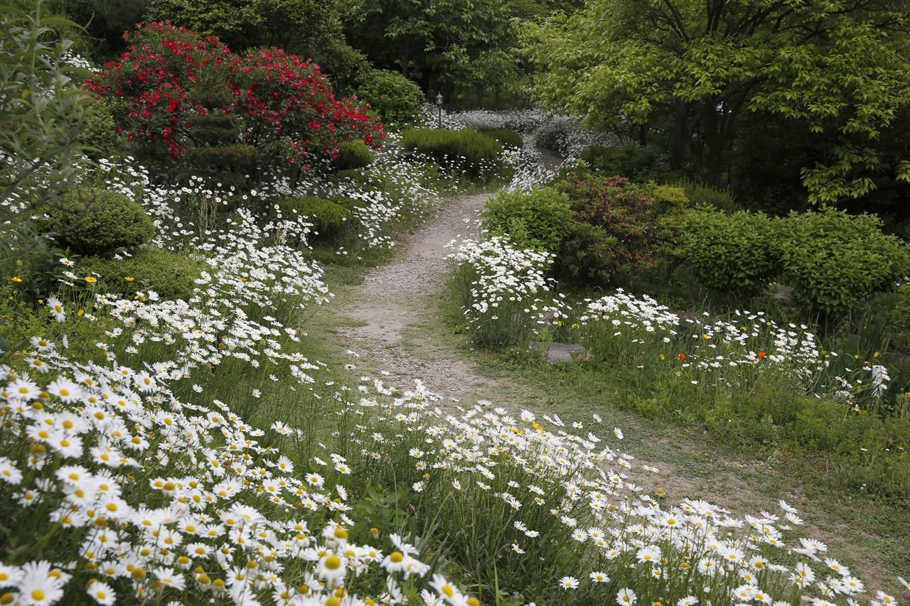 정원에 활짝 피어있는 하얀 마가렛꽃. 담양 한재골의 산 중턱에 있는 하늘마루정원이다.