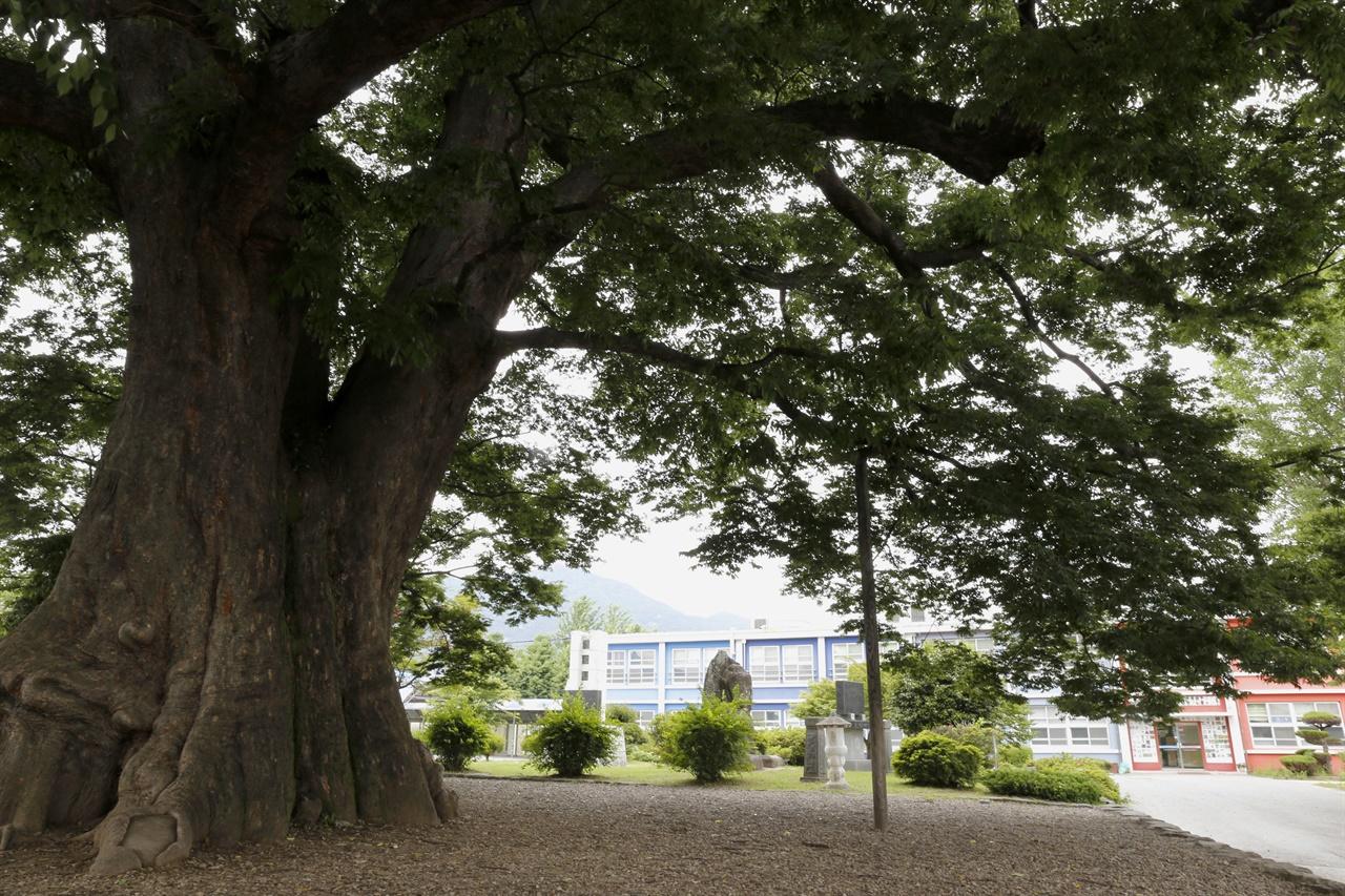 담양 한재초등학교에 있는 천연기념물 느티나무. 수령 600년이 넘는 것으로 추정되고 있다.
