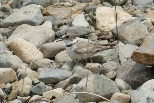 울산 울주군 범서읍 선바위 일원 강가 자갈에서 흰목물떼새가 알 4개와 함께 있다