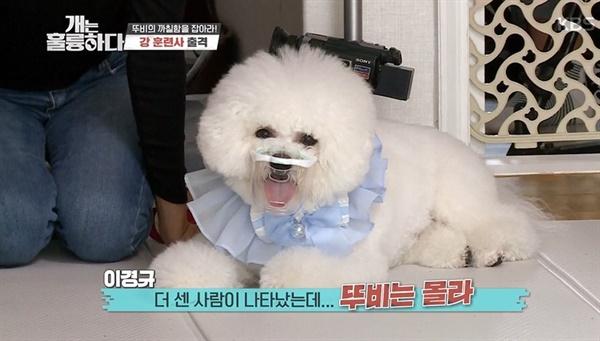 비숑 프리제가 KBS2 <개는 훌륭하다>에 '고민견'으로 등장했다.