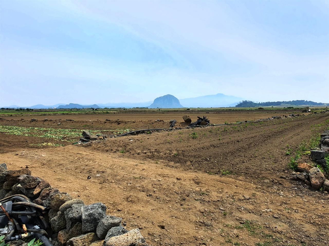 """밭과 산방산 6월 제주 밭은 메밀, 옥수수, 감자(제주에서는 고구마를 감자라고 부르고, 감자는 """"지슬""""이라고 부른다), 귀리 등 온갖 작물로 풍성하다."""