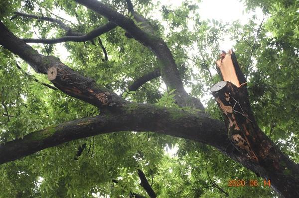 지난 6월 14일 광주·전남지방에 내린 폭우로 전남대학교 병원에 있는 광주광역시 기념물 제19호 '학동 느티나무'의 가지가 무게를 이기지 못하고 부러졌다