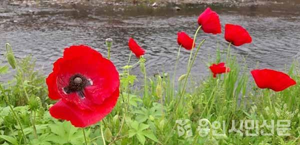 탄천변에 핀 개양귀비꽃