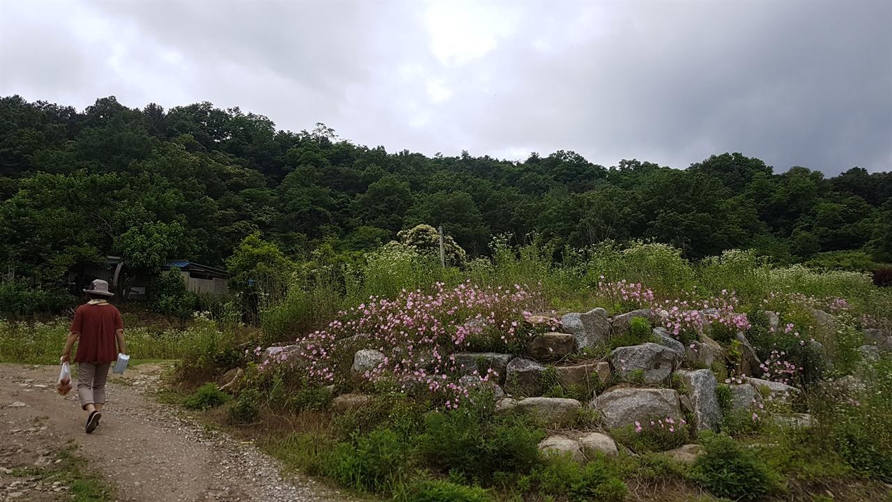 달맞이 꽃 산소가는 밭둑 돌무더기에 분홍 달맞이 꽃이 피어 있다