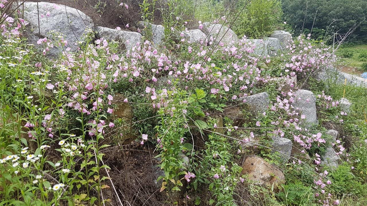 달맞이 꽃 돌무더기 분홍 달맞이 꽃이 피어 너무 예쁘다