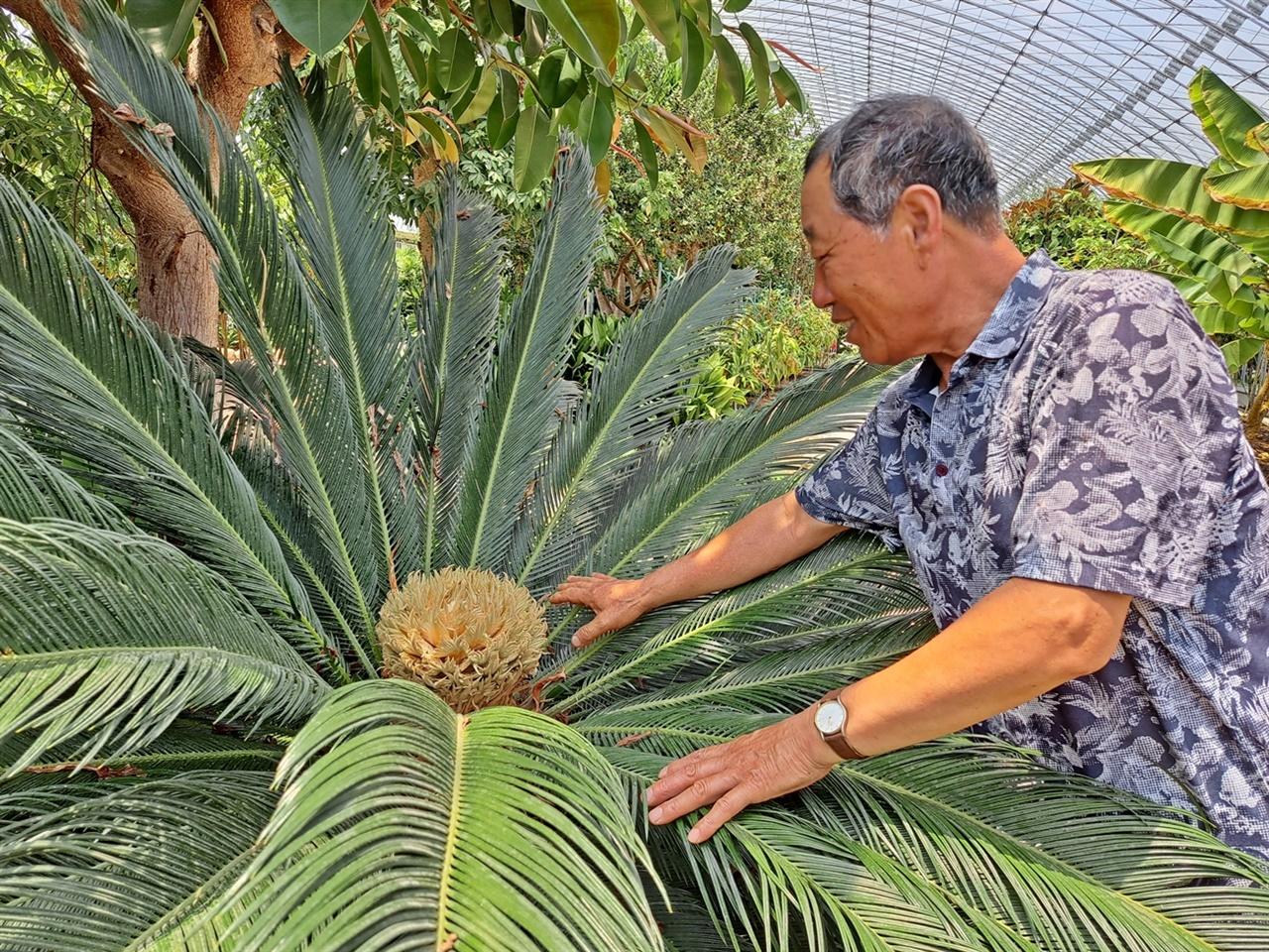 여수시 농업기술센터 아열대과수식물원의 전종민(69)씨는 만개한 소철 암꽃은 자신도 여기서 생전 처음 봤다고 했다.
