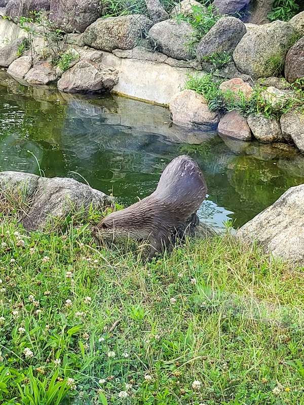 먹이를 먹는 섬진강 수달