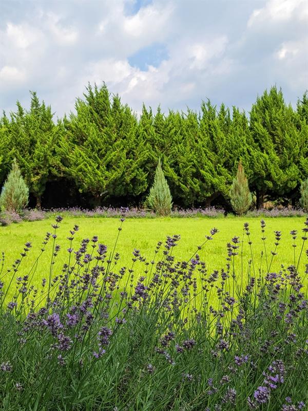 라벤더의 꽃향기가 가득한 천개의 향나무 숲