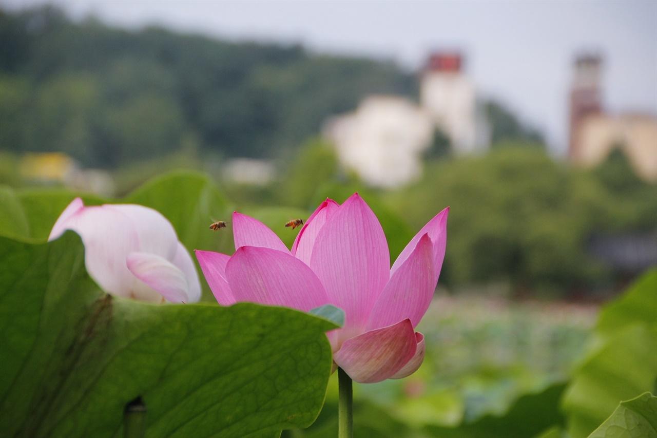 연꽃 전주 '덕진연못'에 핀 연꽃의 자태.
