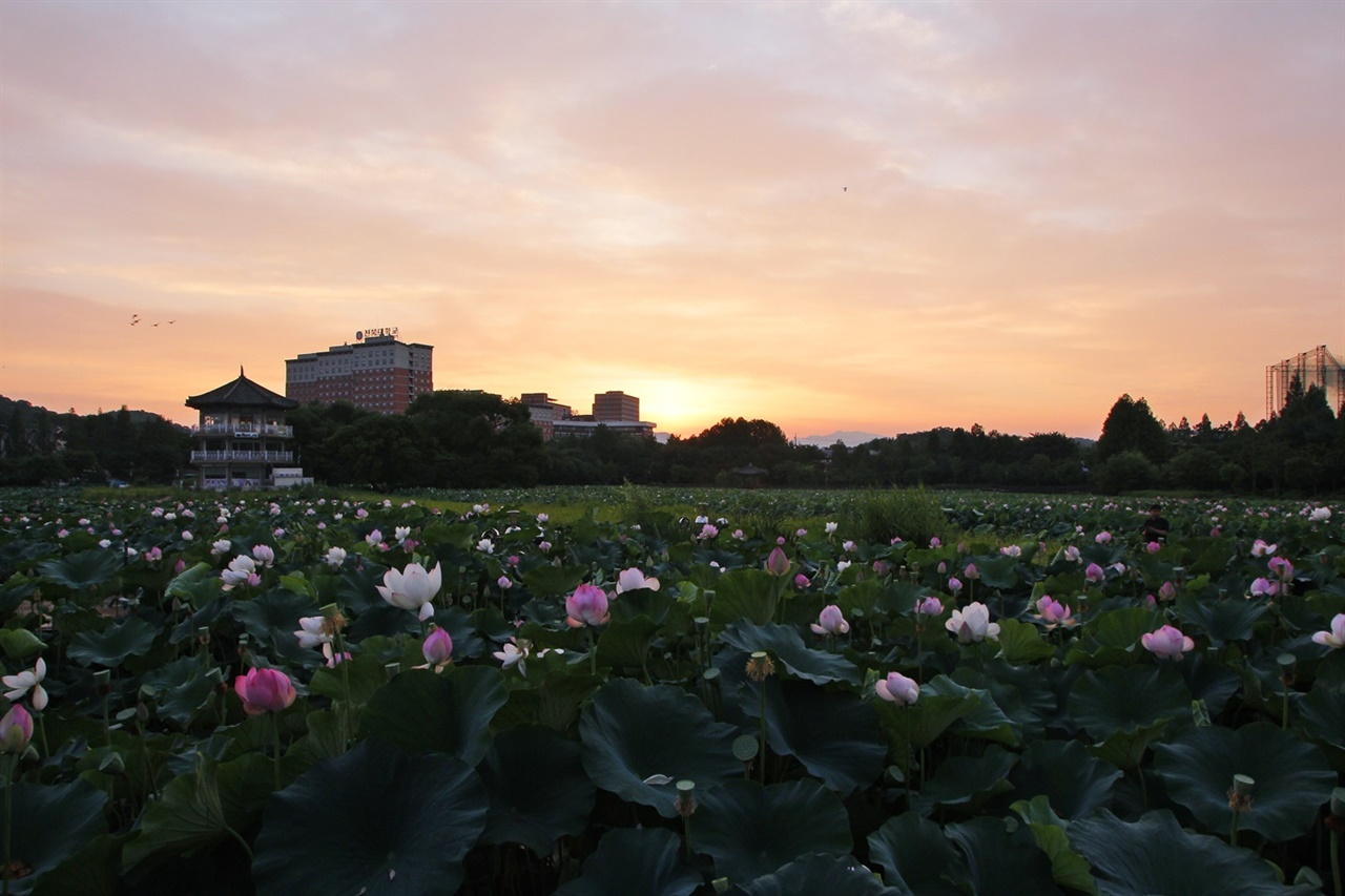 연꽃과 아침 노을 전주 덕진연못은 7월에 절정을 이룬다. 작년 7월 초순 이른 아침에 찍은 사진.
