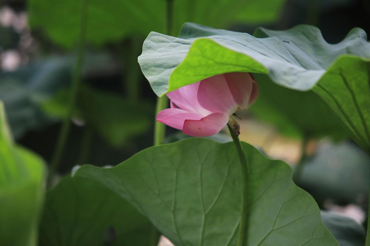 연꽃 수줍게 숨어서 핀 연꽃이 아름답다.