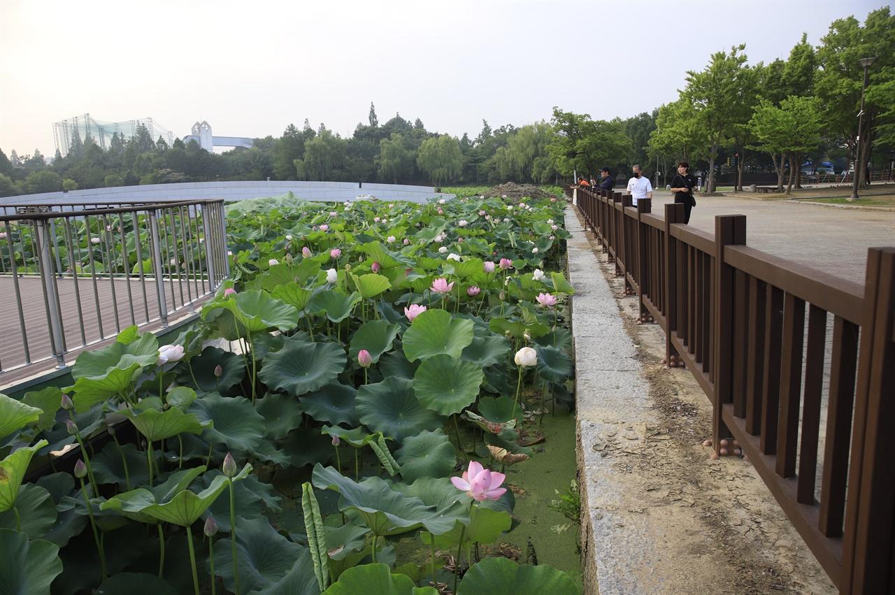 연꽃 전주 덕진연못에 핀 연꽃을 아침 일찍 시민들이 감상하고 있다. 아직은 일부에만 피어 있다.