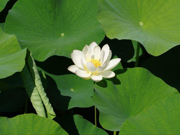 활짝 핀 하얀 연꽃