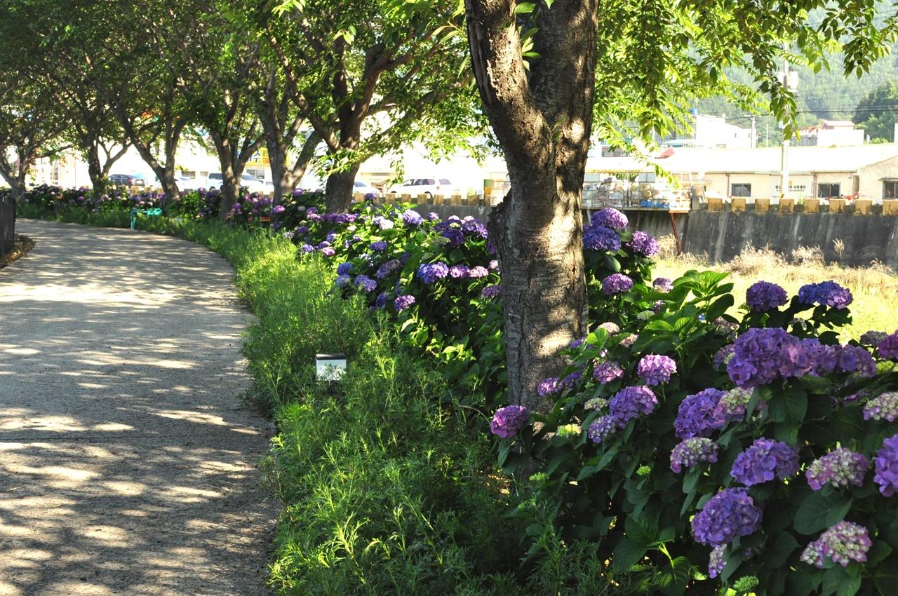 군데군데 버찌가 떨어져 있다. 이 길은 봄에는 벚꽃, 여름에는 수국, 그리고 가을에는 구절초가 아름답다고 한다.