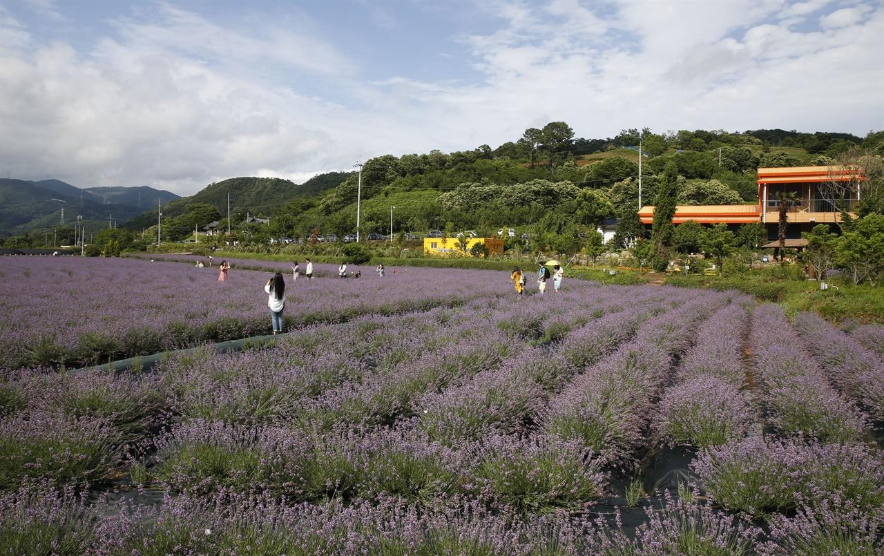 광양 사라실마을에 활짝 핀 라벤더 꽃. 머지 않아 '사라질 마을'이라는 자조 섞인 푸념까지 들었던 마을이 보라색 라벤더 꽃으로 요즘 여행객들의 발길을 불러들이고 있다.