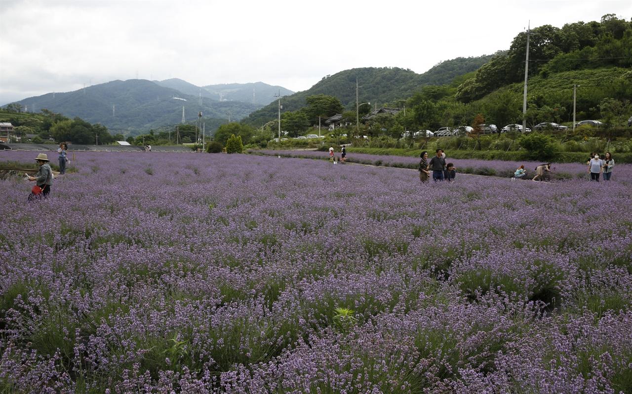 사라실 마을에 활짝 핀 라벤더 꽃을 보러 온 여행객들. 코로나19에도 불구하고 여행객들의 발길이 조심스럽게 이어지고 있다.